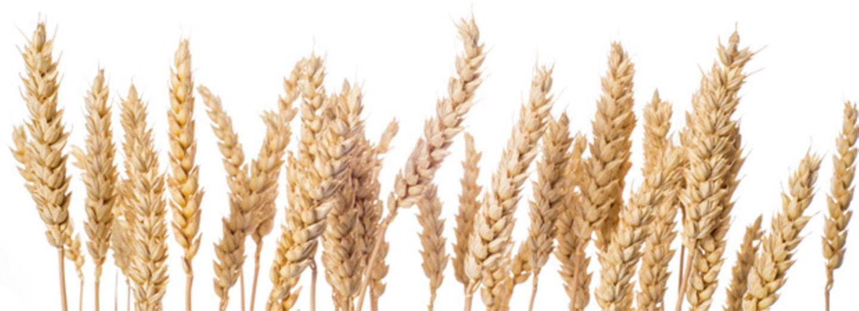 Ist Weizen wirklich ungesund?
