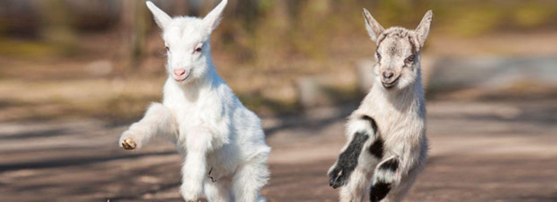 Traumjob: Hauptberufliche Ziegenbaby-Kuschler gesucht!