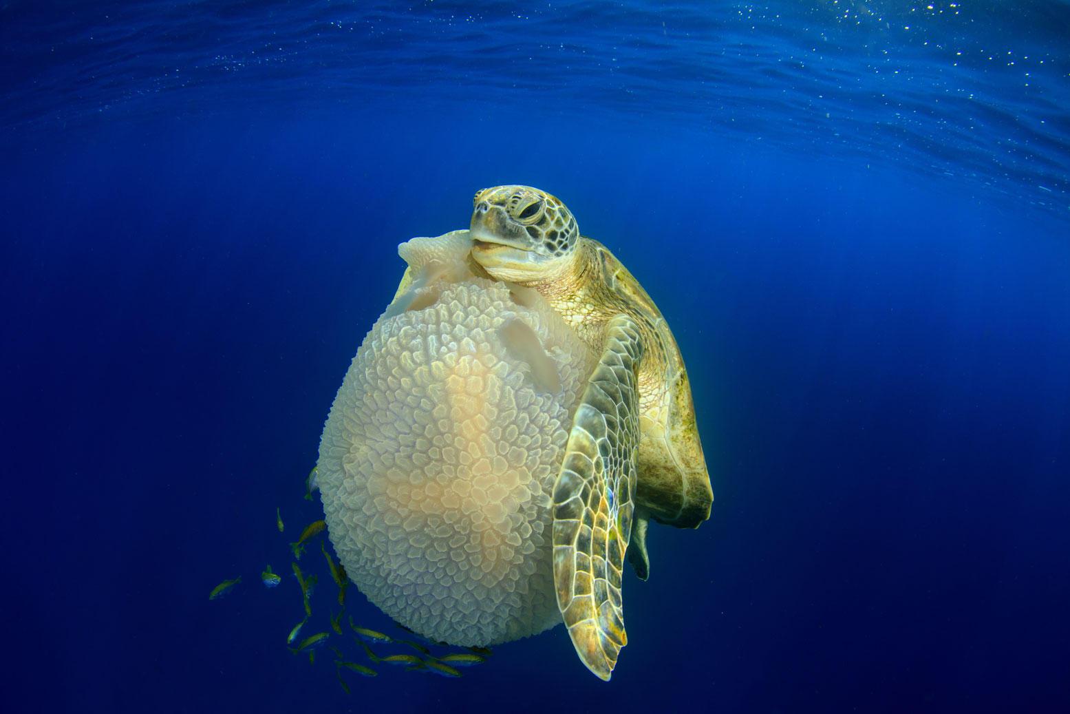 """Turtle eating Jellyfish"""