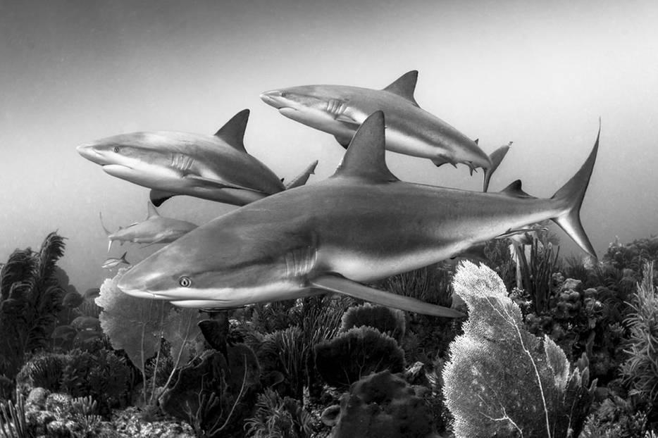 """Carribbean Reef Sharks"""