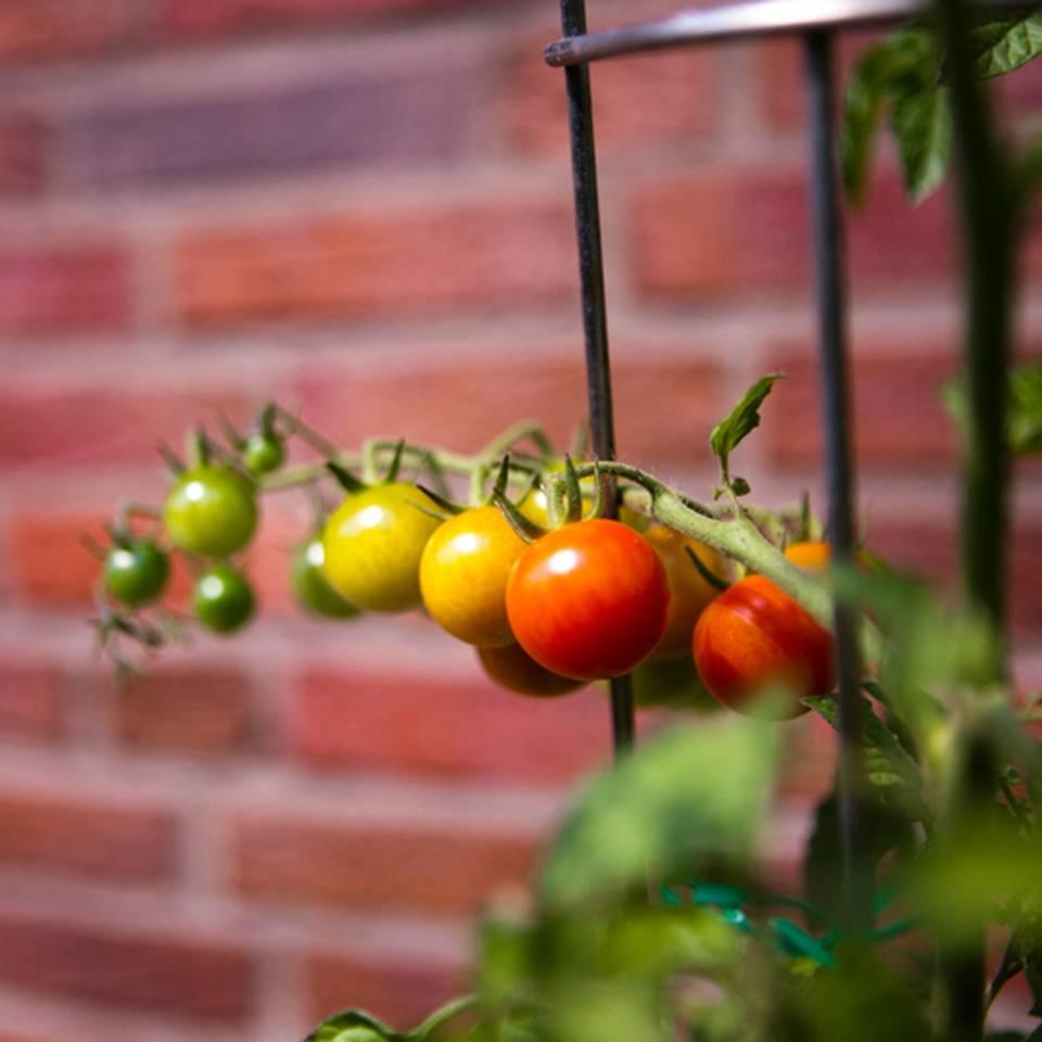 Tomaten pflanzen: Reiche Ernte aus dem eigenen Garten