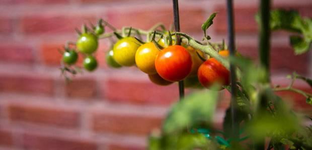 tomaten pflanzen reiche ernte aus dem eigenen garten. Black Bedroom Furniture Sets. Home Design Ideas