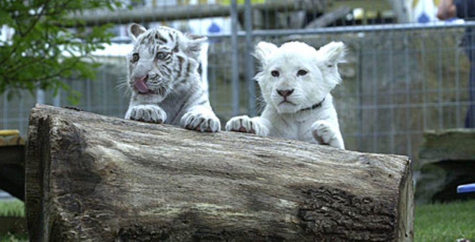 Tiger-und Löwenbabys kann man hier ganz nah erleben