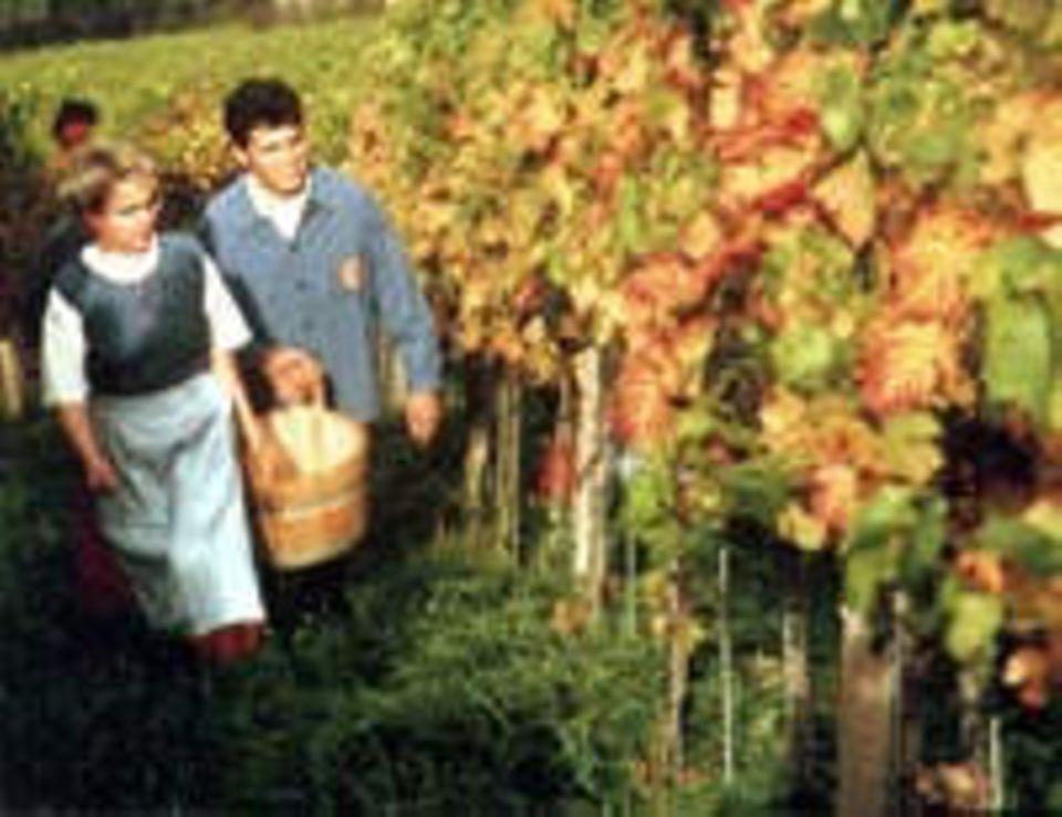 Weinernte in Durbach