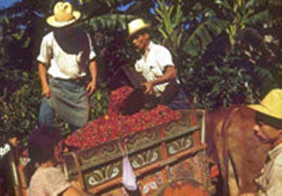 Kaffee-Ernte in Costa Rica