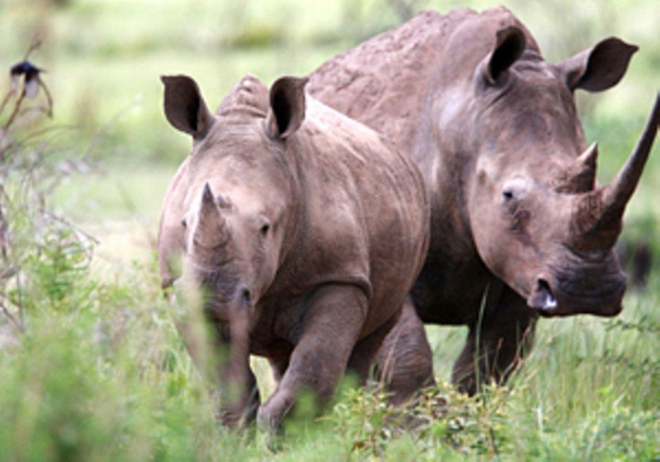 Auge in Auge mit dem Löwen: Tiere gucken in Südafrika