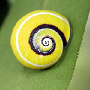 Die Polymita ist leuchtend gelb und elegant geschwungen und nur im Osten Kubas zu finden