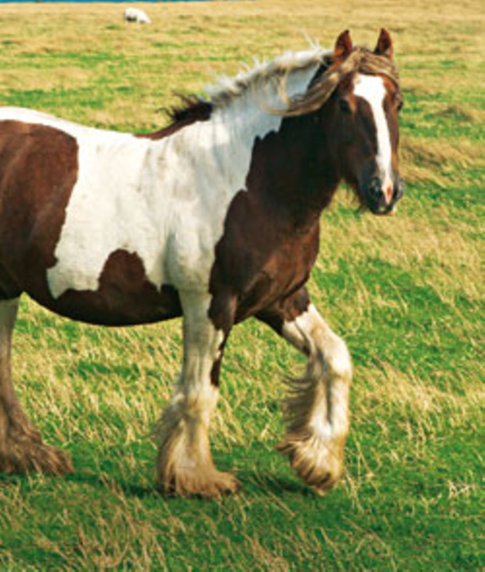 Auf den Orkneys leben auch viele rustikale Ponys