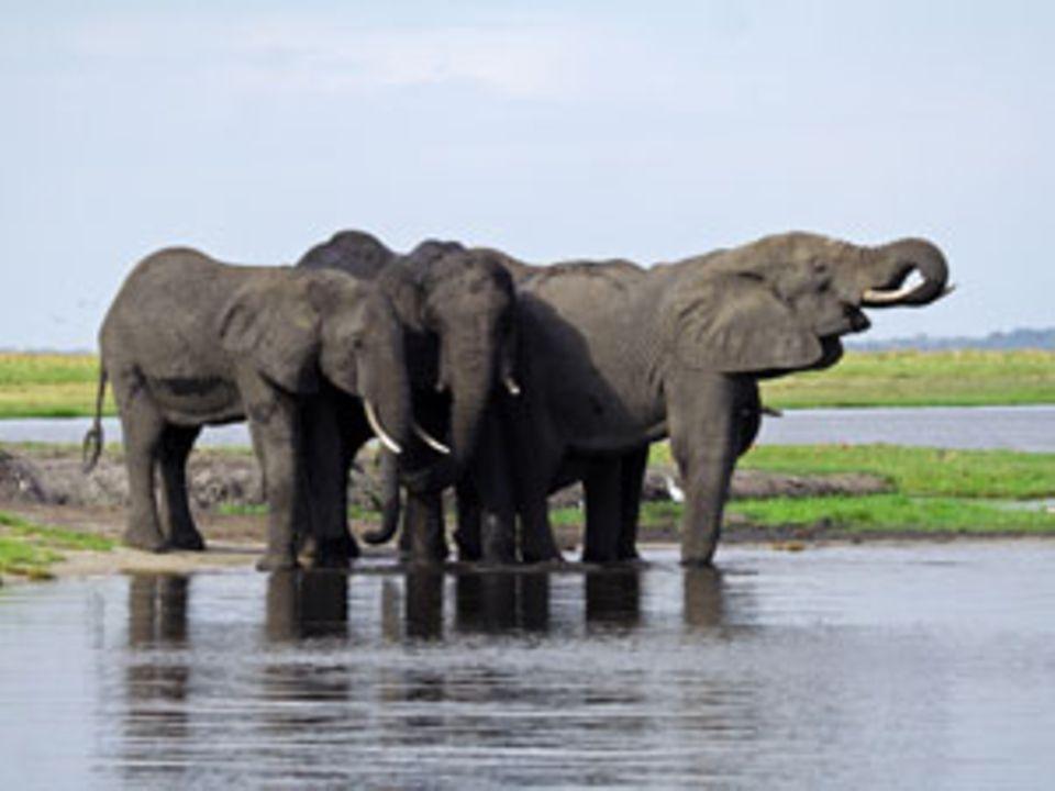 Klarer Fall: Elefanten sind Wasserratten