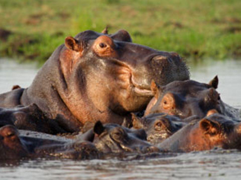 Flusspferd, sei wachsam: Eine Mutter beschützt ihre Babys
