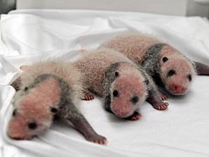 Baby-Pandas: Pandabär-Drillinge erblicken das Licht der Welt