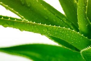 Aloe Vera gegen Sonnenbrand