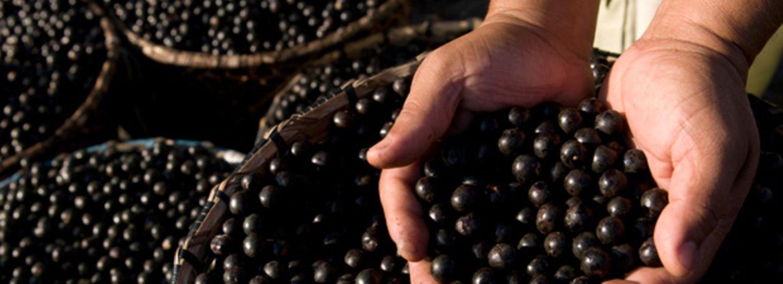 Açai-Beeren gibt es so frisch und knackig eigentlich nur in Südamerika. Sie wachsen an Palmen und gehören im Gebiet des Amazonas-Deltas zur traditionellen Küche.