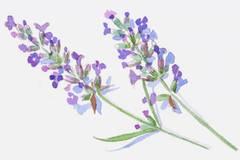 Sie lieben ihren Lavendel, die Französinnen - gern mit extravaganten Zutaten kombiniert.
