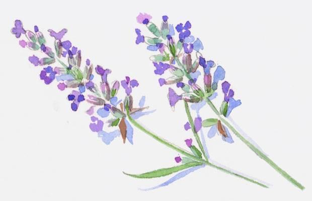 Parfüm: Sie lieben ihren Lavendel, die Französinnen - gern mit extravaganten Zutaten kombiniert.