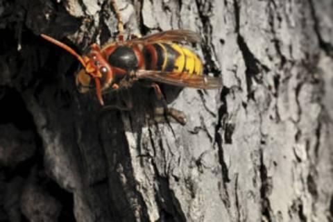 Was hilft gegen Hornissen?