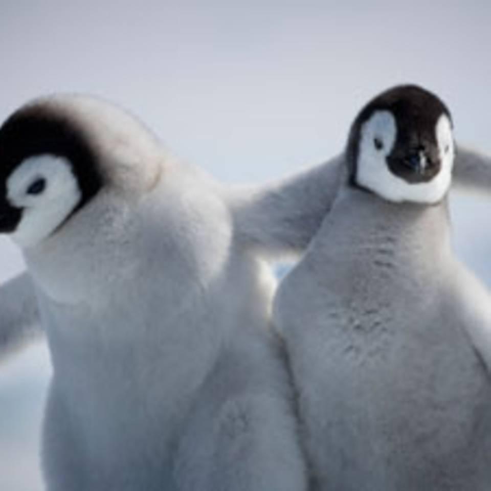 Pinguine lieben Video-Roboter