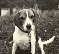 Trauer um Tiere: Beagle-Hündin Pira