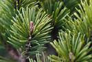Kiefer (Pinus-Arten)