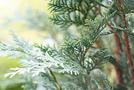 Scheinzypresse (Chamaecyparis lawsoniana)