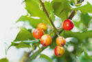 Stechpalme, Hülse (Ilex aquifolium)