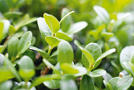 Buchsbaum (Buxus sempervirens var. arborescens)