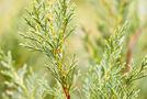 Leyland-Zypresse (Cupressocyparis leylandii)