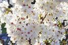 Japanische Zierkirsche (Prunus serrulata)