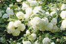Pflanze: Schneeball (Viburnum-Arten)