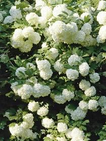 Pflanze Schneeball Viburnum Arten Brigittede