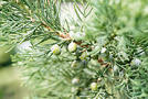 Baum: Wacholder (Juniperus-Arten)