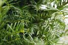 Gewöhnliche Eibe (Taxus baccata)