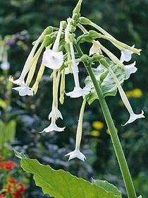 Zier-Tabak (Nicotiana sylvestris)