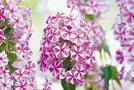 Sommer-Phlox (Phlox-Paniculata-Hybriden)