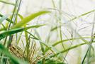 Chinaschilf (Miscanthus sinensis)
