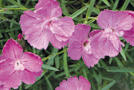 Pfingst-Nelke (Dianthus gratianopolitanus)