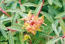 Wolfsmilch (Euphorbia-Arten)