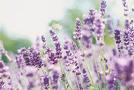 Pflanze: Lavendel (Lavandula angustifolia)