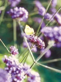 Schleier-Eisenkraut (Verbena bonariensis)