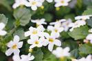 Schneeflockenblume (Sutera diffusus)