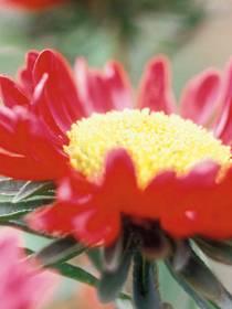 Sommer-Aster (Callistephus-Chinensis-Hybriden)