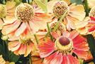 Sonnenbraut (Helenium-Hybriden)