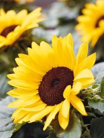 Pflanze: Sonnenblume (Helianthus annuus)
