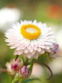Garten-Strohblume (Helichrysum bracteatum)