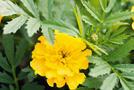 Studentenblume (Tagetes-Arten)