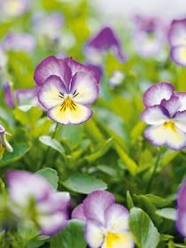 Stiefmütterchen und Hornveilchen (Viola wittrockiana, Viola cornuta)
