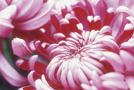 Herbst-Chrysantheme (Chrysanthemum-Indicum-Hybride)