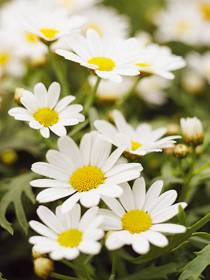 Strauch-Margerite (Chrysanthemum frutescens)