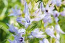 Glockenblume (Campanula-Arten)