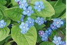 Kaukasus-Vergissmeinnicht (Brunnera macrophylla)
